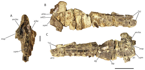 Referred left maxilla of Vivaron haydeni gen. et. sp. nov. (GR 186) in (A) anterior, scale bar = 1 cm (B) lateral, and (C) medial views.