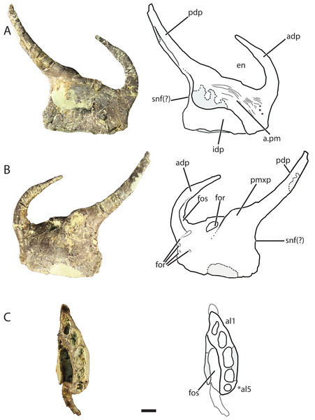 Referred left premaxilla of Vivaron haydeni gen. et. sp. nov. (GR 391) in (A) medial, (B) lateral, and (C) ventral views (with interpretive drawings).