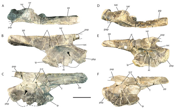 Referred right ilia of Vivaron haydeni gen. et. sp. nov. GR 638 in (A) dorsal, (B) lateral, and (C) medial views; GR 642 in (D) dorsal, (E) lateral, and (F) medial views.