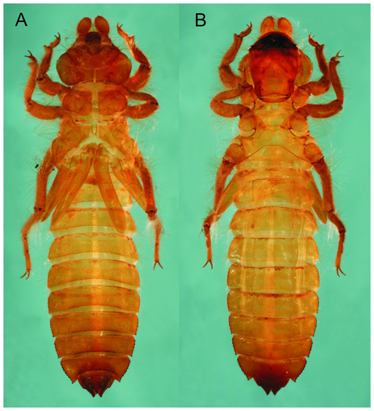 Epigomphus jannyae, last stadium exuvia, (A) dorsal view, (B) ventral view.