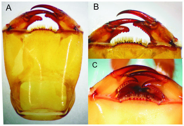 Details of the morphology of Epigomphus spp.