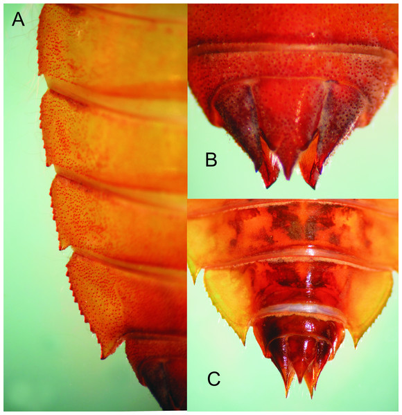 Details of the abdomen of Epigomphus spp.