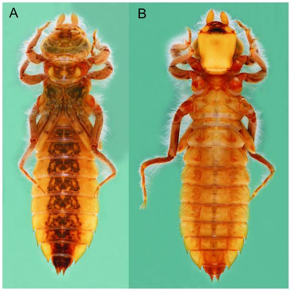 Epigomphus tumefactus, last stadium, (A) dorsal view, (B) ventral view.