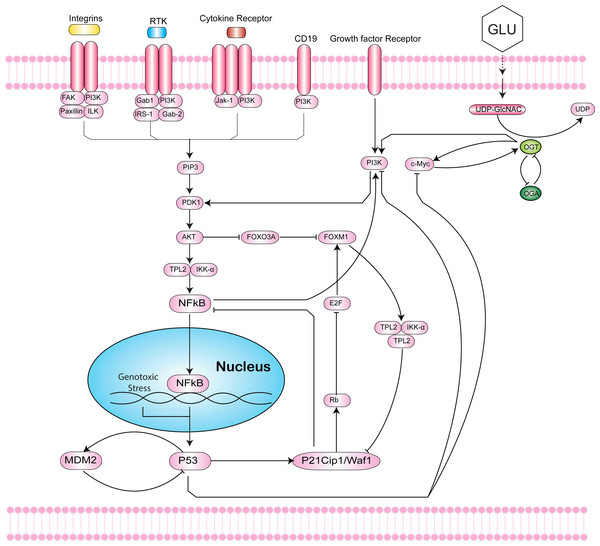 Intersection of the Hexosamine Biosynthetic Pathway (HBP), Phosphoinositide 3-kinase (PI3K)-mTOR-MYC signaling axis, and p53-MDM2 circuit.