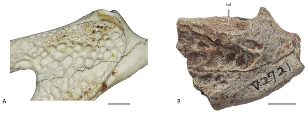 Comparison between the surangular of Alligator sinensis (IVPP 1335) (A) and the surangular of Asiatosuchus nanlingensis (IVPP V 2721.1) (B).