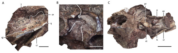 Asiatosuchus nanlingensis (IVPP V 2716-1.1), posterior part of skull originally designated by Young (1964) as part of the holotype of Eoalligator chunyii.