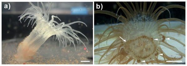 A representative bleached and a representative clade C Symbiodinium-infected anemone and its lacerates.