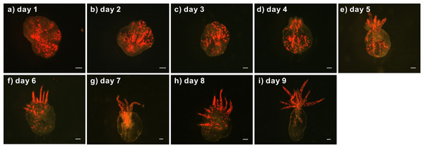 Development of a representative lacerate collected from a clade C Symbiodinium-infected anemone.
