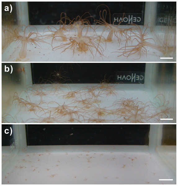 Images of the clade C Symbiodinium-infected anemones and their offspring.