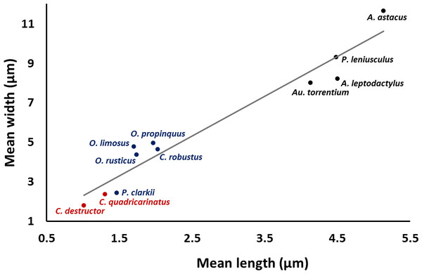 Correlation between length and width of the spermatozoon acrosome in eleven species of freshwater crayfish.