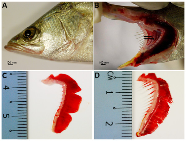 Gross morphology of the Asian seabass head.
