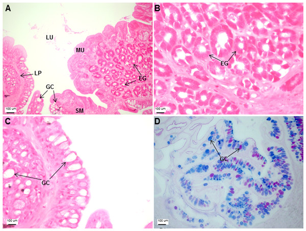 Both goblet cells and esophageal glands were detected in the Asian seabass esophagus by histological analysis.