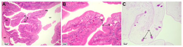 Asian seabass pyloric caeca resemble the intestine histologically, but with much fewer goblet cells.