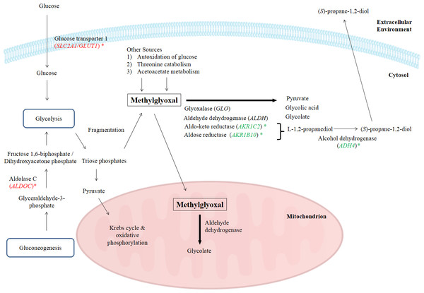 A graphical representation to illustrate how BLE may affect cellular metabolism of methylglyoxal.