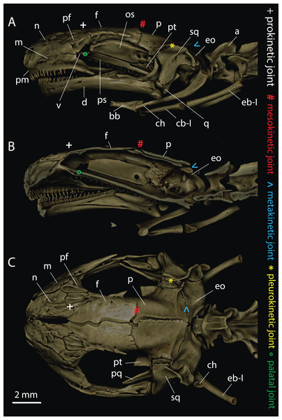 Craniocervical osteology of Triturus ivanbureschi based on μCT-reconstruction.