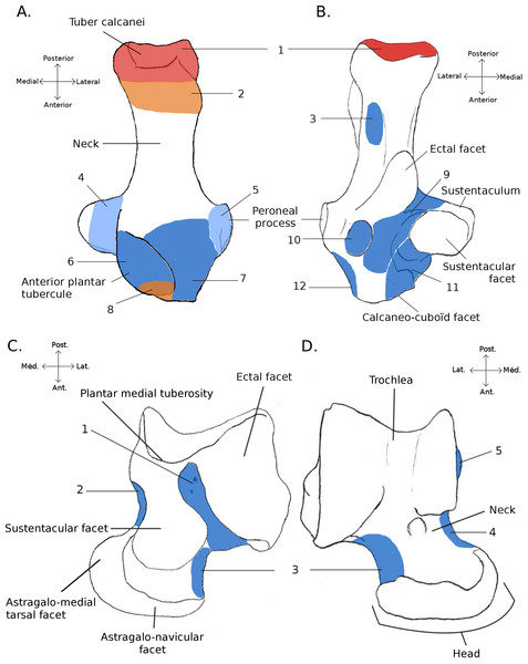 Structures and insertions on the astragalus and calcaneus.