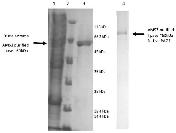 Polyacrylamide gel electrophoresis (PAGE) profile of recombinant AMS3 lipase.