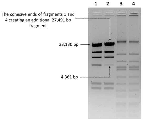 Endonuclease digestion analysis of phage phiC119 genomic DNA.
