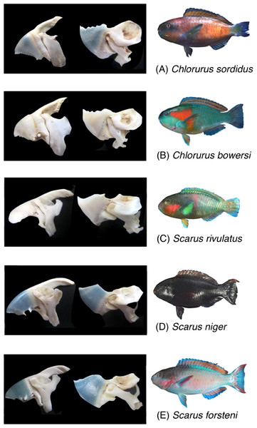 Photographs of the five parrotfish species with their upper jaw lever-system (premaxilla + maxilla) and lower jaw lever system (dentary + articular).