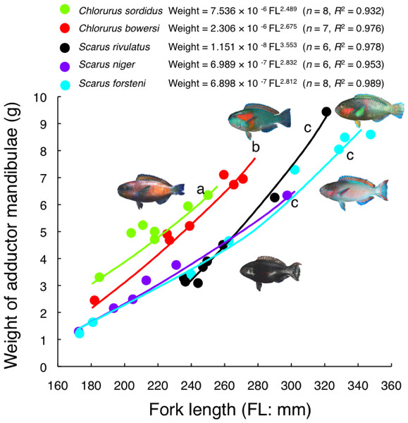 Relationship between fork length and weight of adductor mandibulae for the five parrotfish species.