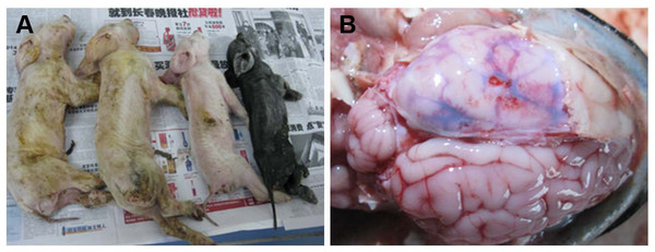 Macropathologic images of PHEV infection in piglets from a farm in China.