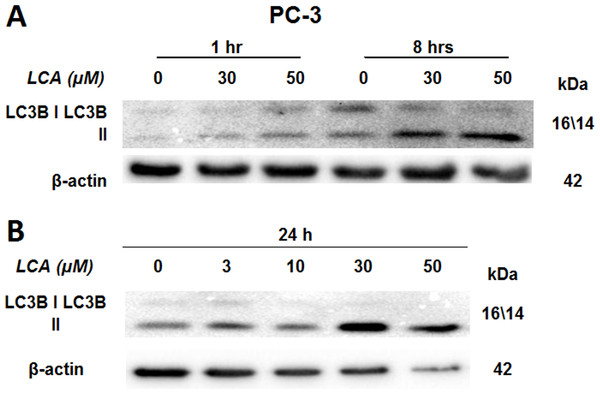 Lithocholic acid (LCA) induces LC3B conversion in PC-3 prostate cancer cells.