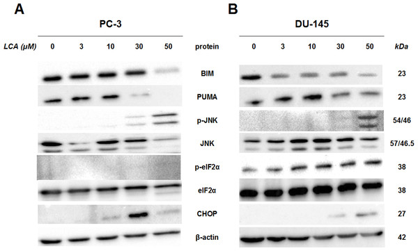 Lithocholic acid (LCA) induces ER stress in PC-3 and DU-145 prostate cancer cells.