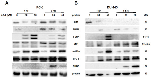 Time-dependent induction of ER stress by overtly cytotoxic concentrations of lithocholic acid (LCA) in PC-3 and DU-145 prostate cancer cells.