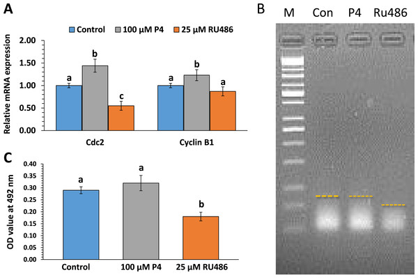 The effects of P4 or RU486 on maternal gene expression, polyadenylation levels and p34cdc2 kinase activity.
