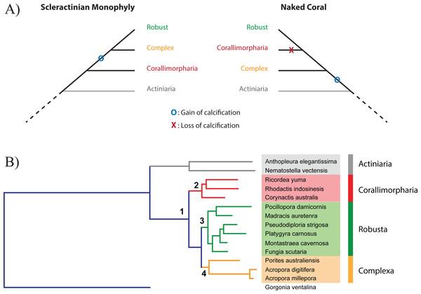 Relationship between Scleractinia and Corallimorpharia.