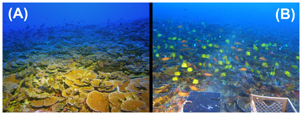 Heterogeneous reef fish distribution on Leptoseris reefs in the 'Au'au Channel.