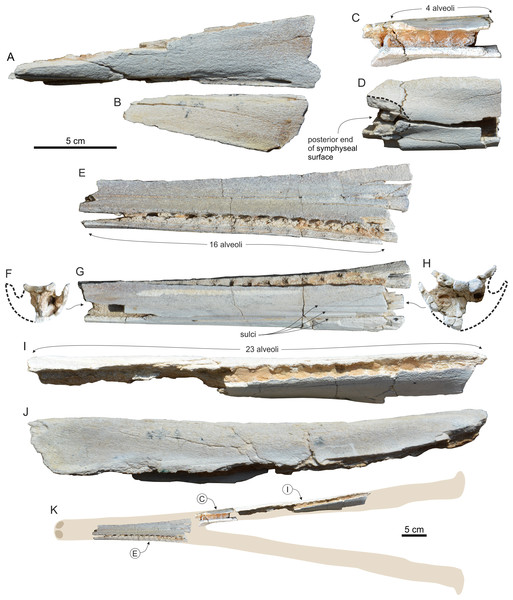 Fragmentary cranium and mandibles of Genus and sp. indet. 1.