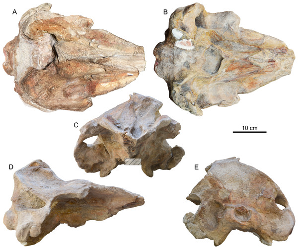 Cranium of Chavinziphius maxillocristatus.