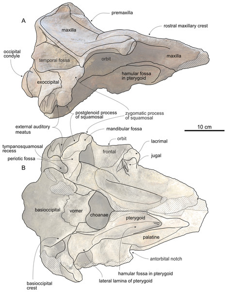 Cranium of Chavinziphius maxillocristatus in lateral and ventral view.