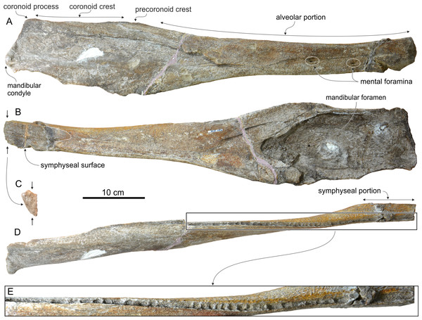 Mandible of Chavinziphius maxillocristatus.