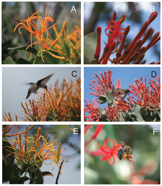 Morphology and floral visitors of Psittacanthus calyculatus and P. auriculatus in an Acacia-grassland at Santiago Matatlán, Oaxaca, Mexico.