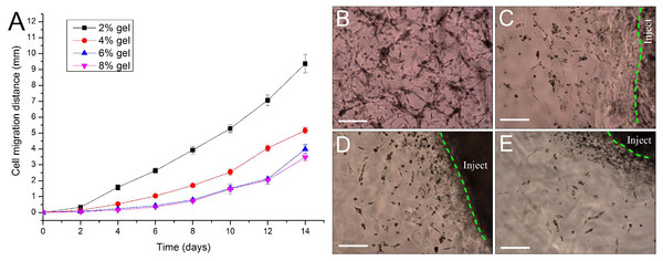 Evaluation of cell migration in 3D hydrogels.