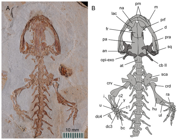 Holotype of Nuominerpeton aquilonaris gen. et sp. nov. (part slab of PKUP V0414): photograph (A) and line drawing (B) of the upper body.
