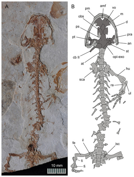Holotype of Nuominerpeton aquilonaris gen. et sp. nov. (counter-part slab of PKUP V0414): photograph (A) and line drawing (B), displaying articulated skeleton with part of the tail missing.