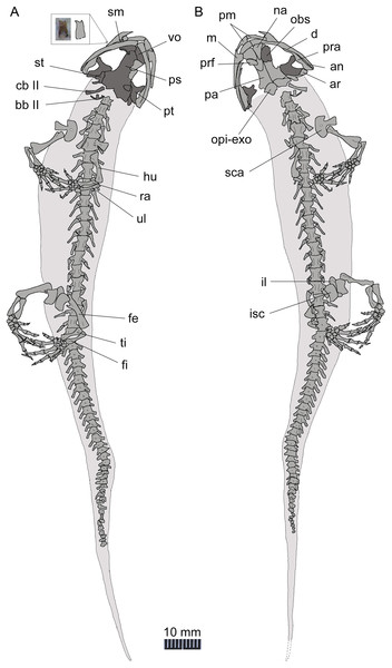 Line drawing of a nearly complete skeleton of Nuominerpeton aquilonaris gen. et sp. nov. (PKUP V0421): line drawing of part slab (A) with skeleton exposed in ventral view; line drawing of the counter-part slab (B) with skeleton exposed in dorsal view.