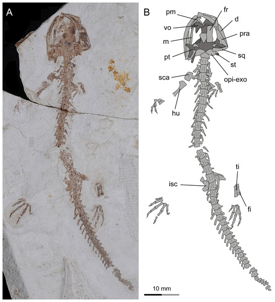 Incomplete skeleton of the only known postmetamorphic juvenile specimen of Nuominerpeton aquilonaris gen. et sp. nov. (PKUP V0416): photograph (A) and line drawing (B) of an articulated skeleton exposed in dorsal view.