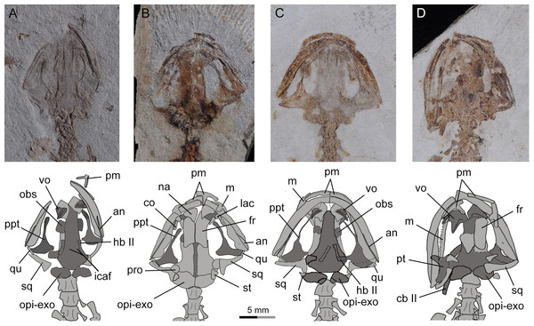 Photographs and line drawings of skull and mandibles in larval and juvenile specimens of Nuominerpeton aquilonaris gen. et sp. nov., showing ontogenetic resorption of palatine and anterior pterygoid portions of the palatopterygoid.