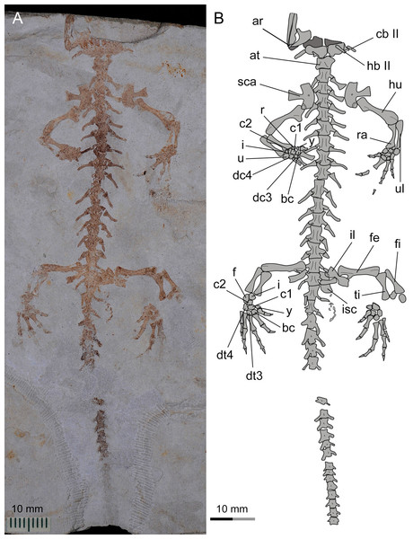 Referred specimen of Nuominerpeton aquilonaris gen. et sp. nov. (PKUP V0415): photograph (A) and line drawing (B) of the incomplete skeleton in ventral view.