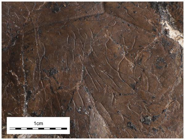 UMNH VP26151, Paiutemys tibert gen. et sp. nov., holotype, Late Cretaceous (Cenomanian) of Utah, USA.