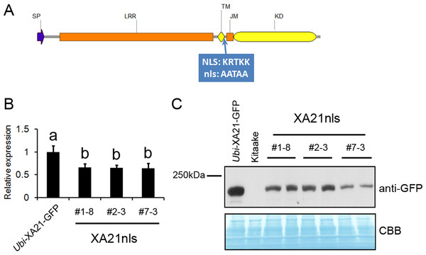 Ubi-XA21nls-GFP transgenic plants have reduced transcript and protein levels.