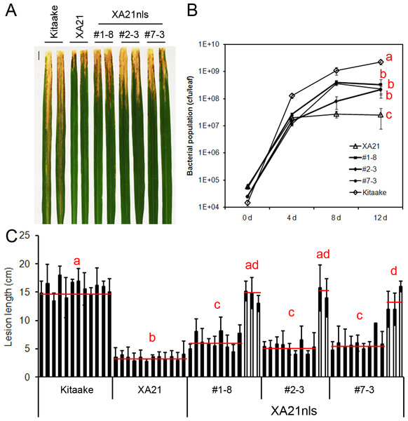 T2 generation of Ubi-XA21nls-GFP plants display partial resistance to Xoo.