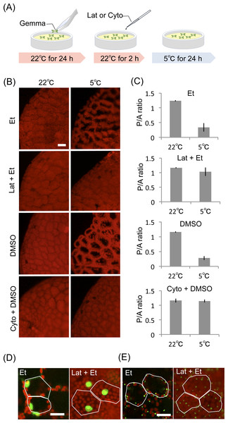 Effect of inhibitors for actin filaments in organelle cold positioning.