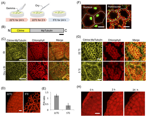 Effect of inhibitors for microtubules in organelle cold positioning.