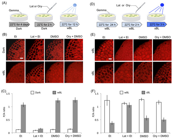 Actin-dependency in the light-induced chloroplast positioning responses.