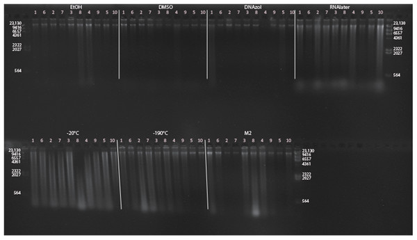 Gel image of extracted genomic DNA from the blue crab, Callinectes sapidus, for the Time Experiment, showing all tissue storage treatments for Time-since-death < 10 min.